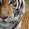 Drooling Tigre