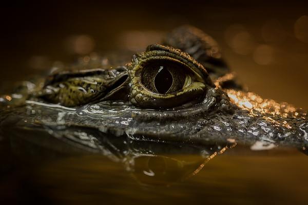 Gator Eye