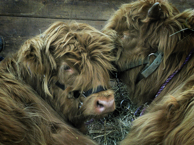 Fuzzy Cows