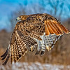Red Tail Hawlk