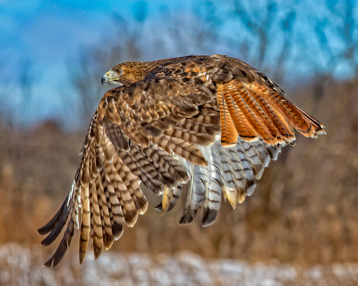 Red Tail Hawlk