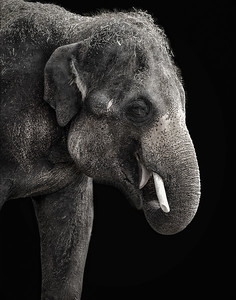 Elephant in B&W