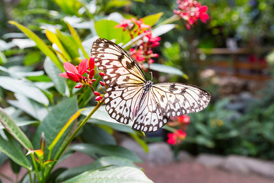 White Tree Nymph (Idea leuconoe). Victoria Butterfly Gardens - Central Saanich, BC, Canada