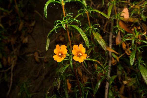 Sticky Monkey Flower (Mimulus aurantiacus). West Shore Trail. Lake Chabot Regional Park - Castro Valley, CA, USA