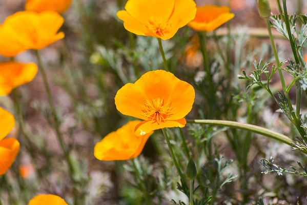 California Poppy (Eschscholzia californica). Fremont Central Park - Fremont, CA, USA