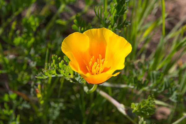 California Poppy (Eschscholzia californica). Baker Beach - San Francisco, CA, USA