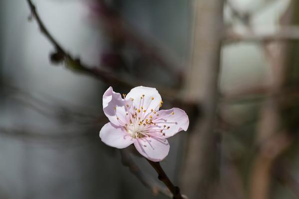 Cherry Blossom. Arroyo Del Valley Trail - Pleasanton, CA, USA
