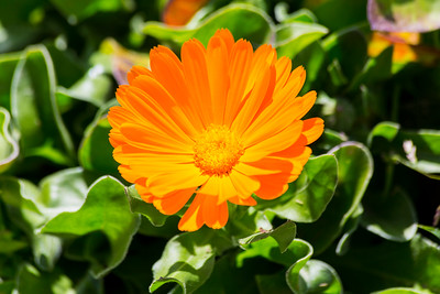 Marigold (Calendula officinalis). Pleasanton, CA, USA