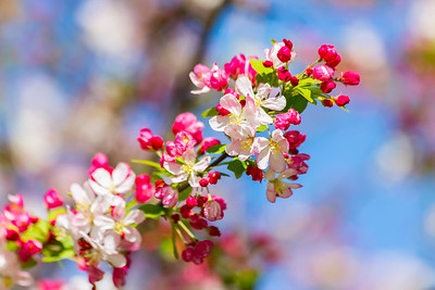 Peach Blossoms. Pleasanton, CA, USA