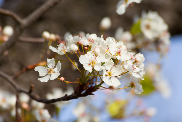 Callery Pear Blossoms (Pyrus calleryana). Shadow Cliffs Regional Park - Pleasanton, CA, USA