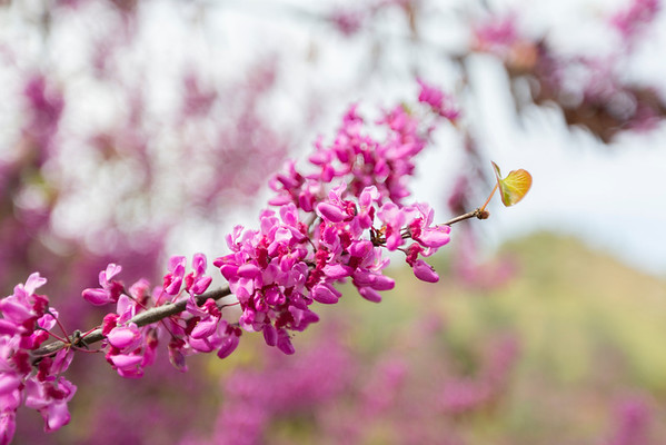 Redbud (Cercis canadensis). Route to Yosemite National Park