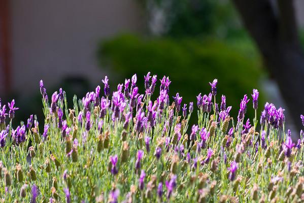 Lavender. Pleasanton, CA, USA