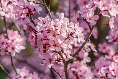 Cherry Blossoms. Pleasanton Tennis & Community Park - Pleasanton, CA, USA
