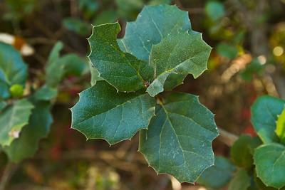 Leaves. Augustin Bernal Park - Pleasanton, CA, USA