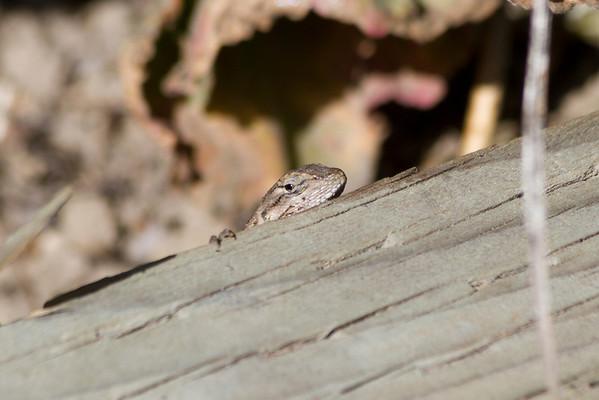 Western Fence Lizard (Sceloporus occidentalis). Arroyo Del Valley Trail - Pleasanton, CA, USA