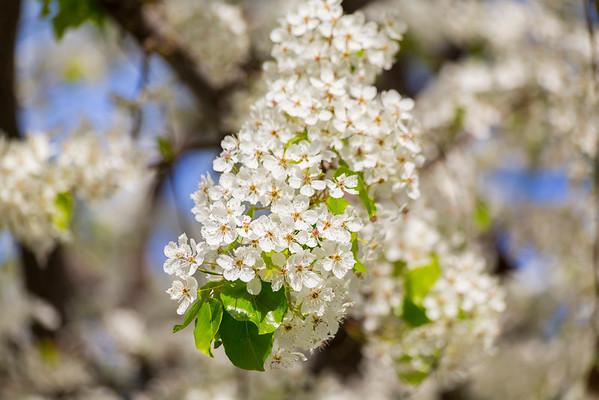 Callery Pear Blossoms (Pyrus calleryana). Pleasanton, CA, USA