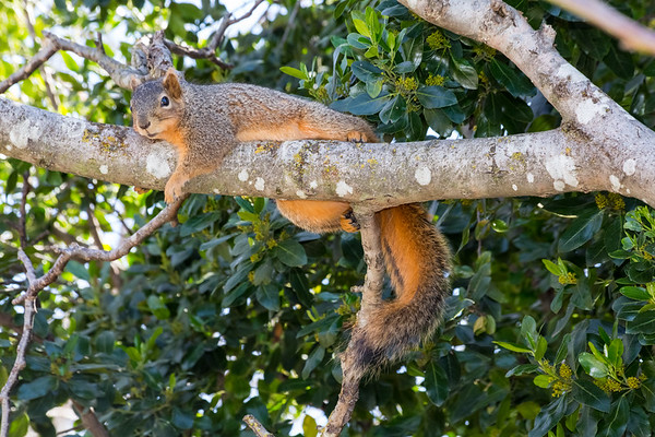 Squirrel napping in a tree. Arroyo Del Valle Trail - Pleasanton, CA, USA