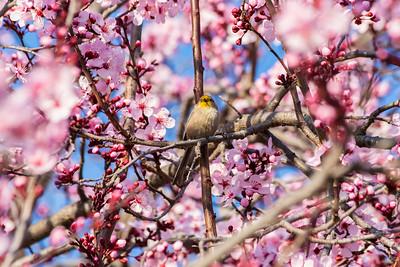 Bushtit (Psaltriparus minimus) & Cherry Blossoms. Pleasanton Tennis & Community Park - Pleasanton, CA, USA
