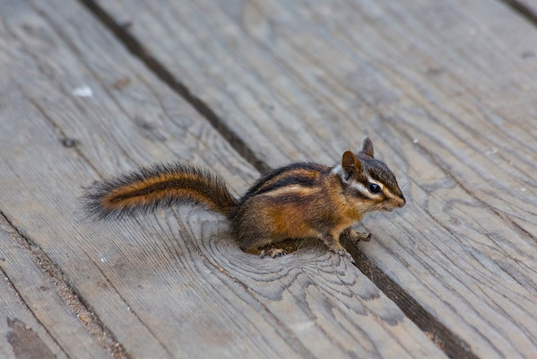 Chipmunk. Muir Woods National Monument - Mill Valley, CA