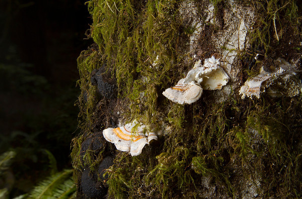 Turkey Tail Mushroom (Trametes versicolor) and Moss. Muir Woods National Monument.