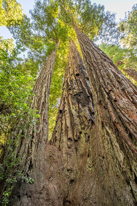 HDR Composition. Coast Redwood (Sequoia sempervirens). Lady Bird Johnson Grove - Redwood National Park, CA