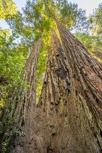 HDR Composition. Coast Redwood (Sequoia sempervirens). Lady Bird Johnson Grove - Redwood National Park, CA