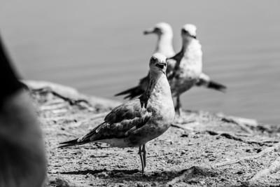 Seagulls.  Fremont Central Park - Fremont, CA, USA