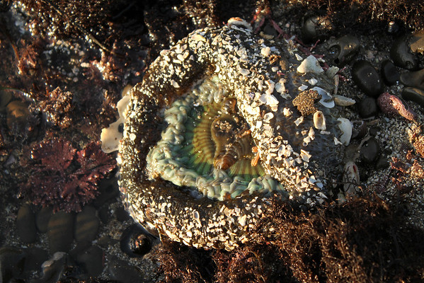 Sea Anemone. Mega Low Tide. Half Moon Bay, CA, USA