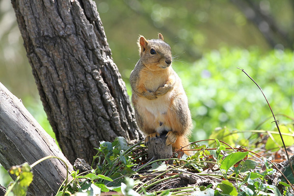 Squirrel. Arroyo Del Valle Trail - Pleasanton, CA, USA