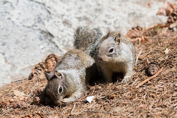 Squirrel. Vernal Fall Foot Bridge - John Muir Trail - Yosemite National Park