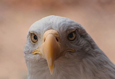 Stare of a Bald eagle, one bad ass bird!