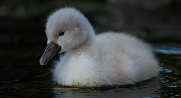 Mute Swan jr.
