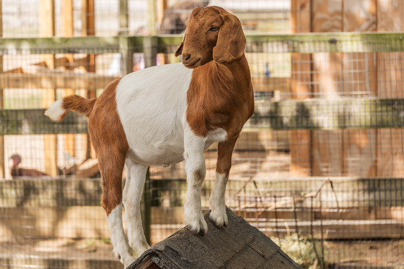Happy Goat on his Roof
