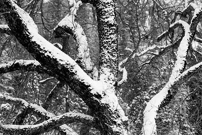 Snowy_Tree_BW_2_KKD3979