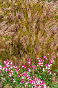 Sweet_Pea_Flowers_&_Grasses_3AA_DAK8642