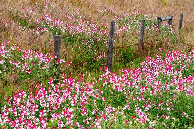 Sweet_Pea_Flowers_&_Grasses_1_DAK8534