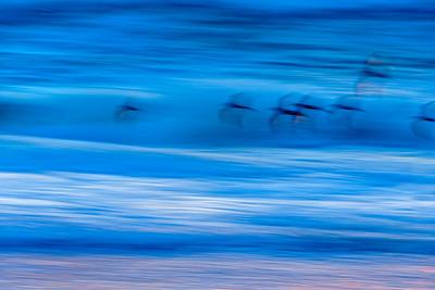 Shorebirds_&_Surf_in_Motion_DAK6572