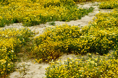 Carrizo_Wildflowers_&_Sand_KKD9504
