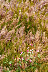 Sweet_Pea_Flowers_&_Grasses_2AA_DAK8597