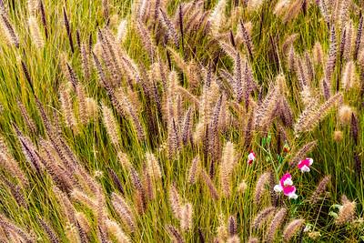 Sweet_Pea_Flowers_&_Grasses_5AA_DAK8675