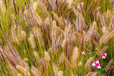 Sweet_Pea_Flowers_&_Grasses_1AA_DAK8681