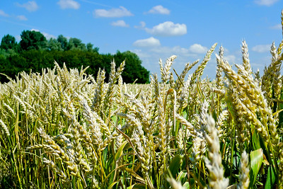 Field of wheat and horizon in the summer