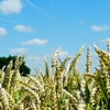 Panorama of wheat cereal in a field