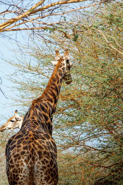 Long neck in the bush