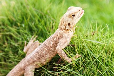 Cute Mimetism lizard