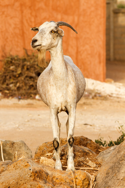 Single bearded goat