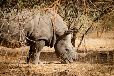 Wild rhino in the bush