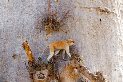 Patas monkey climbing