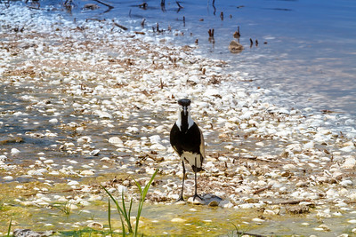 Spur winged plover