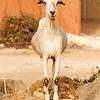 Bearded goat staring